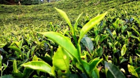 Export of Tea up by 174 Percent